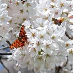 japanese-cherry-trees-2169269_1920